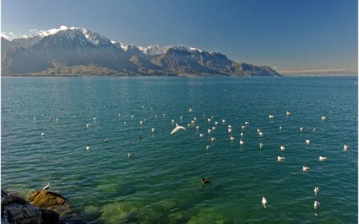 Möwenschwarm auf dem Genfersee