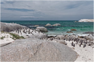 Die Pinguin-Kolonie in am Boulders Beach