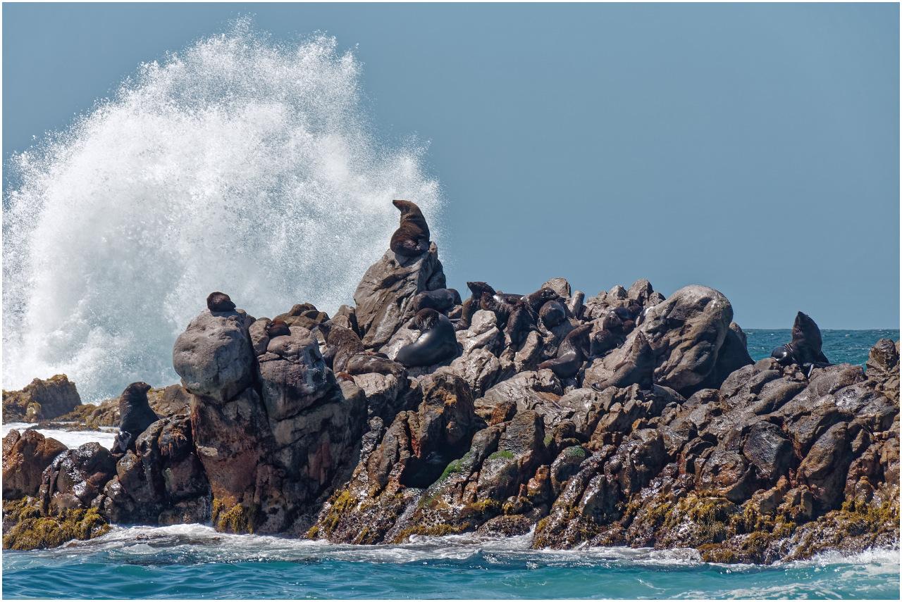 Eine Pelzrobbe geniesst den Ausblick auf einer Felseninsel vor Dyer Island