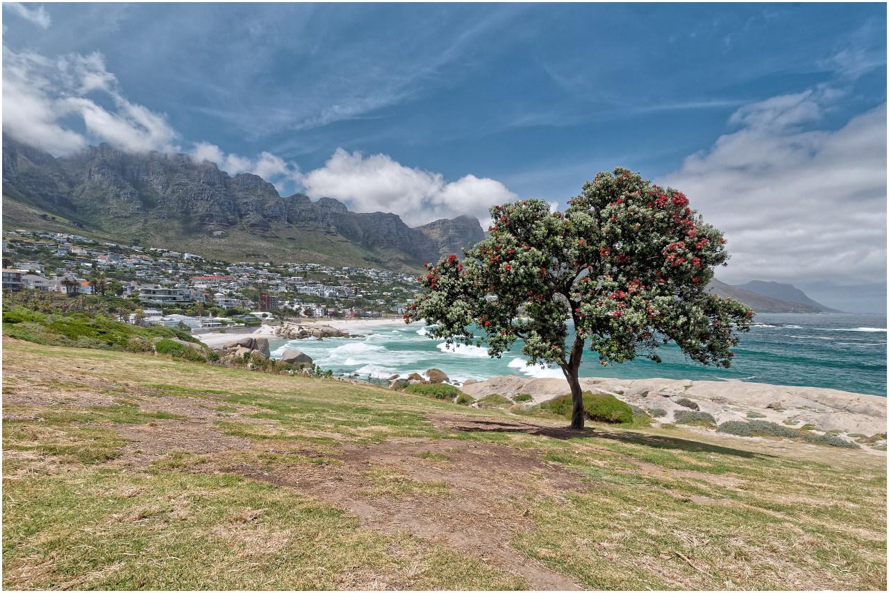 Ein blühender Christmas Tree, wie ich ihn auch von Neuseeland kenne, mit Camps Bay und den zwölf Aposteln im Hintergrund