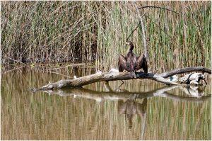 Viele Wasservögel lassen sich beobachten - hier ein junger Kormoran