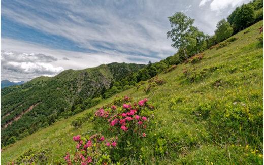 Alpenrosen auf der Alpe di Neggia