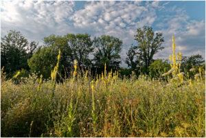 Kleinblütige Königskerzen wachsen auf dem Moorboden