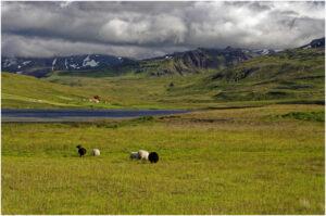 Schafe weiden bei Bjarnahöfn