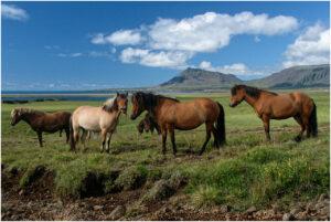 Pferde haben auf Snæfellsnes praktisch unbegrenzt Auslauf