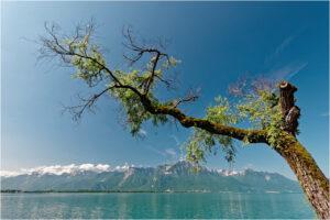 Spektakulärer Baum an der Uferpromenade bei Territet