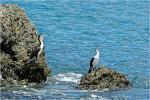 Kormorane an der Owhiro Bay